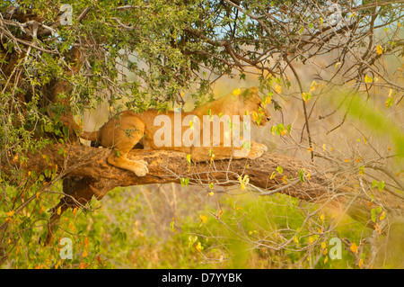 Lioness in Tree at Chobe, Chobe National Park, Botswana - Stock Photo