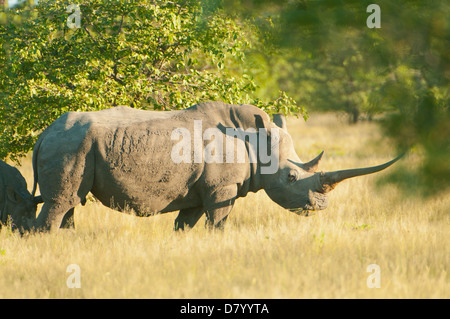 White Rhinoceros in Ongava, near Etosha National Park, Namibia - Stock Photo