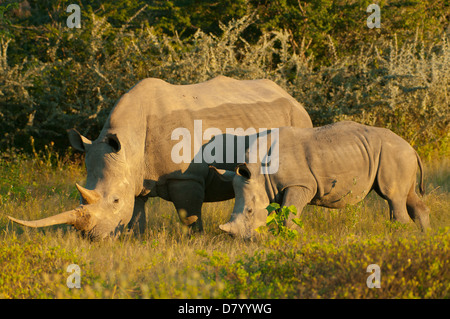 Pair of White Rhinoceros in Ongava, near Etosha NP, Namibia - Stock Photo