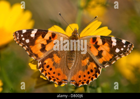 Painted Lady, Vanessa cardui , Butterfly - Stock Photo