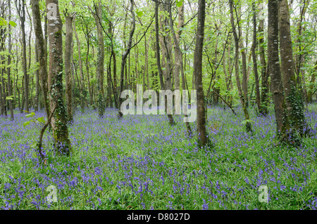 Bluebell woods in spring Tehidy Country Park Cornwall England - Stock Photo