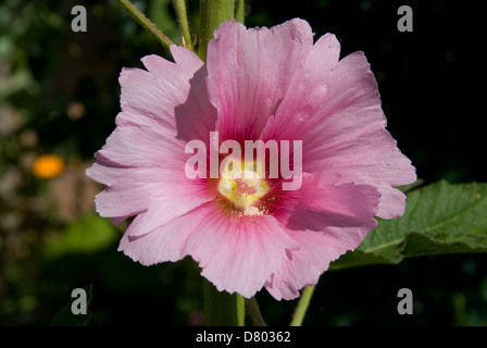 Althaea Rosea, Australian Hollyhock - Stock Photo