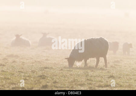 Northampton, UK. 16th May 2013. Sheep and lambs in the low laying mist  early this morning in the Nene Valley. Credit: - Stock Photo