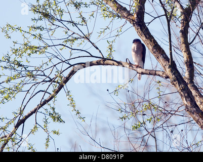 Wild Male Sparrowhawk (Accipiter nisus) perched in tree looking for prey - Stock Photo