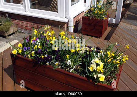 SPRING BULBS GROWING IN A WOODEN PLANTER. - Stock Photo