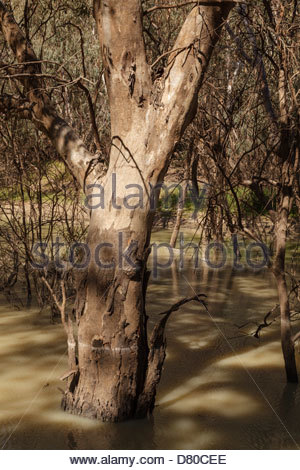 River Red Gum (Eucalyptus camaldulensis) in the Darling River, Kinchega National Park, Outback New South Wales, - Stock Photo
