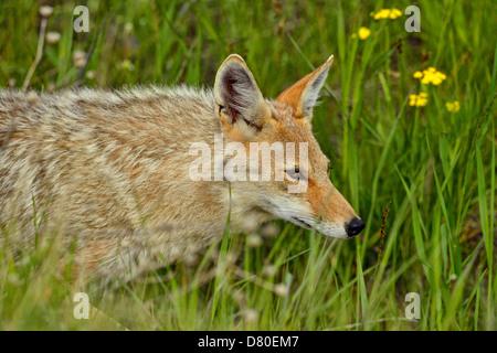 Coyote Canis latrans Trotting through flower meadow near park road Glacier National Park Montana USA - Stock Photo