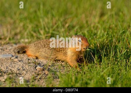 Columbian ground squirrel Spermophilus columbianus Feeding and alert near burrow in urban setting Canmore Alberta - Stock Photo