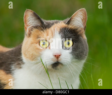 Spectacular tree colored cat portrait in grass - Stock Photo