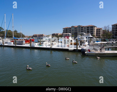 Shelter Cove, Hilton Head Island, South Carolina. Brown pelicans swim in the harbor at the end of Broad Creek. - Stock Photo