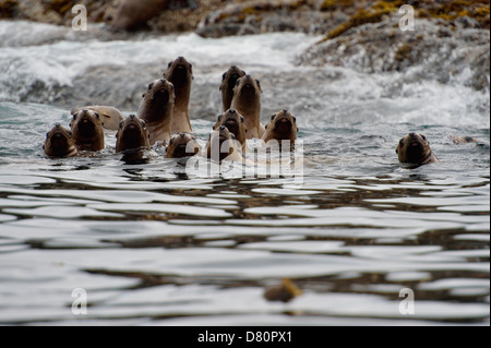 Stellar Northern sea lion Eumetopias jubatus Hauled out Garcin Rocks Gwaii Haanas National Park - Stock Photo