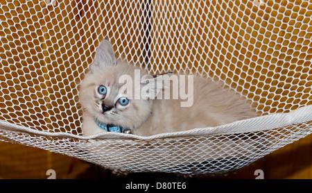 A cute Siamese Balinese kitten lying in a hammock. - Stock Photo