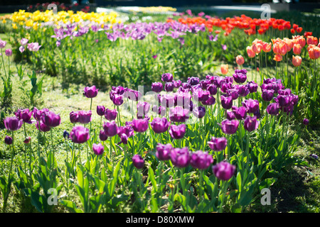 Tulip garden at the Netherlands Carillon next to Arlington National Cemetery and the Iwo Jima Memorial. First donated in 1954, the Carillon was moved to its current location in 1960. It was a gift of the Netherlands to the United States in thanks for US aid during World War II. Stock Photo