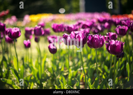 Purple tulips in bloom at the Netherlands Carillon next to Arlington National Cemetery and the Iwo Jima Memorial. First donated in 1954, the Carillon was moved to its current location in 1960. It was a gift of the Netherlands to the United States in thanks for US aid during World War II. Stock Photo