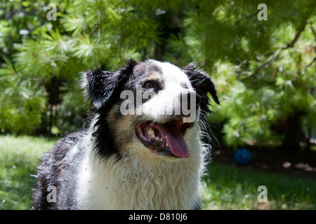 A Playful and happy Australian Shepherd dog wet and covered with burrs waits for someone to throw a ball - Stock Photo