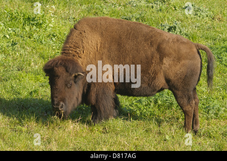 Bison in San Francisco's Golden Gate park - Stock Photo