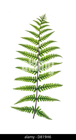 Fern frond backlit to revel veins and isolated on a white background - Stock Photo