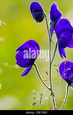 Monkshood (aconitum delphinifolium, buttercup, ranunculaceae), poisonous plant, Denali National Park, Alaska, USA - Stock Photo
