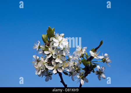 plum blossoms with blue sky in the background - Stock Photo