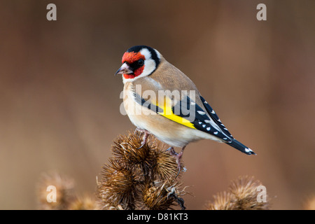 European Goldfinch,  Carduelis carduelis, on Burdock - Stock Photo