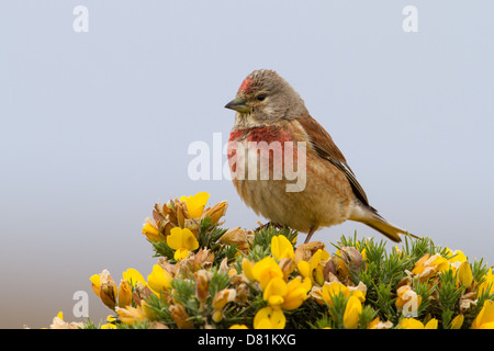 Common Linnet, Carduelis cannabina on Gorse, Ulex europaeus - Stock Photo