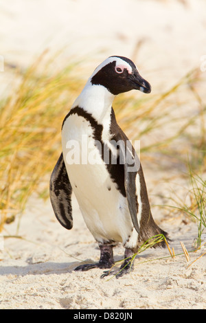 The African Penguin (Spheniscus demersus), also known as the Black-footed Penguin, Boulders Beach, Cape Town, South - Stock Photo