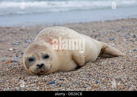 Common seal / Harbour seal (Phoca vitulina) pup resting on beach - Stock Photo