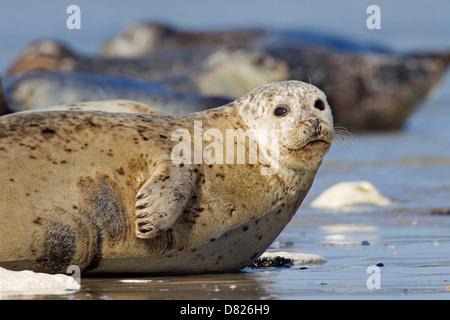 Common seals / Harbour seal (Phoca vitulina) resting on beach - Stock Photo