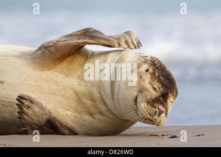 Close-up of Common seal / Harbour seal (Phoca vitulina) on beach scratching head with front flipper - Stock Photo