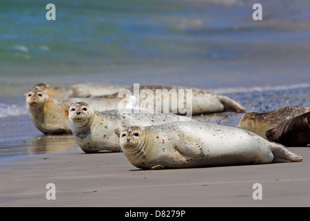 Common seals / Harbour seal (Phoca vitulina) colony resting on beach - Stock Photo