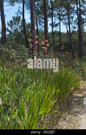 Plants flower in a pine wood Salceira near Aljezur Algarve Portugal Mediterranean Europe - Stock Photo