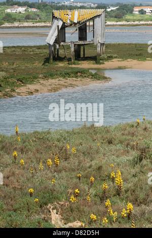 Yellow Broomrape (Cistanche phelypaea) habitat  Alvor Algarve Portugal Mediterranean Europe