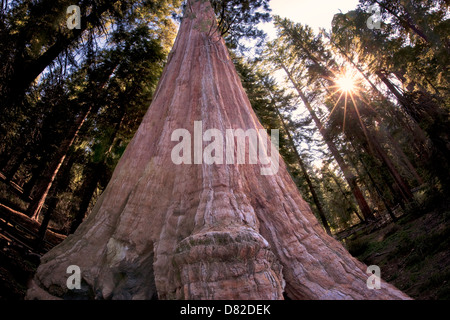 General Giant Sequoia tree with sunburst in Grant Gove. Kings Canyon National Park, California - Stock Photo