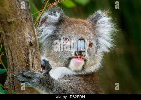 Koala hanging in a eucalyptus tree. - Stock Photo
