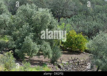 olive trees and orange tree with fruit Masmarrta Trail near Mealha Brás de Alportel Algarve Portugal Mediterranean - Stock Photo