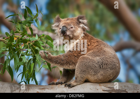 Koala feeding in a eucalyptus tree. - Stock Photo