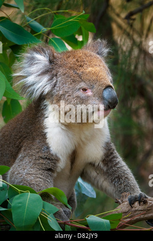 Koala sitting in a eucalyptus tree. - Stock Photo