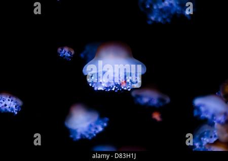 Jellyfishes swimming in aquarium - Stock Photo