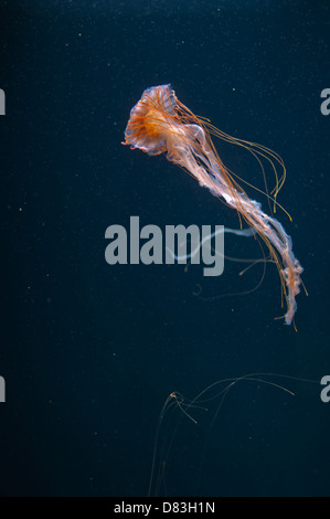 Jellyfish swimming in aquarium - Stock Photo