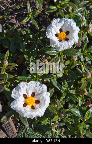 Brown-eyed rockrose (Cistus ladanifer) close-up of the flowers, buds and leaves, Rota Vicentina coastal walk Algarve - Stock Photo