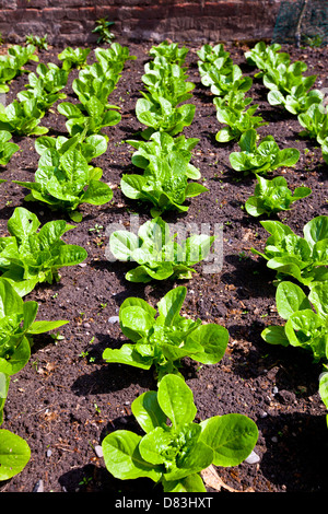Rows of fresh lettuce plants growing in a vegetable garden. - Stock Photo