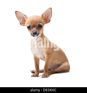 close up, young dog portrait sitting on white background - Stock Photo