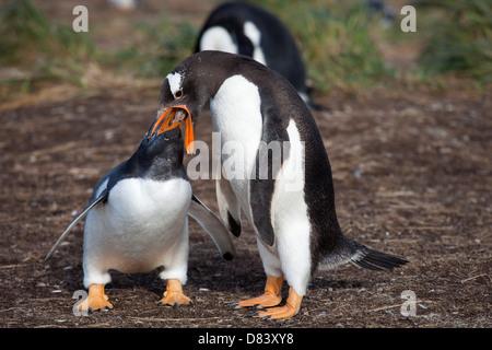 gentoo penguin;pygoscelis papua - Stock Photo