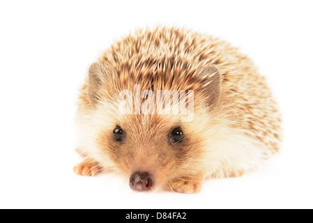 Hedgehog isolated on White background. - Stock Photo