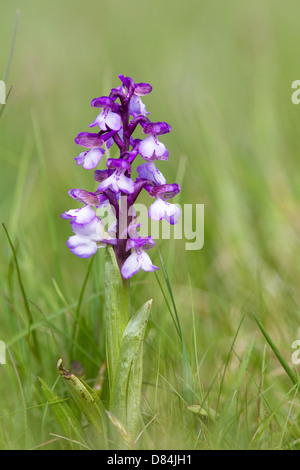 Green Winged or Green Veined Orchid Anacamptis morio in golf course grassland at Ashton Court Somerset - Stock Photo