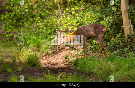 Young buck Roe deer Capreolus capreolus entering a patch of sunlight in Leigh Woods Bristol - Stock Photo