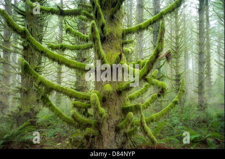 Moss covered Spruce trees. Silver Falls State Park, Oregon - Stock Photo