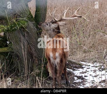 Close-up of a mature antlered  Red Deer stag (Cervus elaphus) in a winter setting at Oostvaardersplassen, Flevoland, - Stock Photo