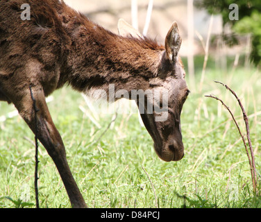Close-up of a mature Red Deer doe (Cervus elaphus)  grazing - Stock Photo