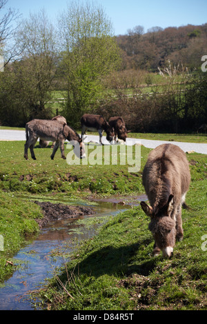 donkeys roaming free at Gorley, New Forest National Park, Hampshire UK in April - Stock Photo
